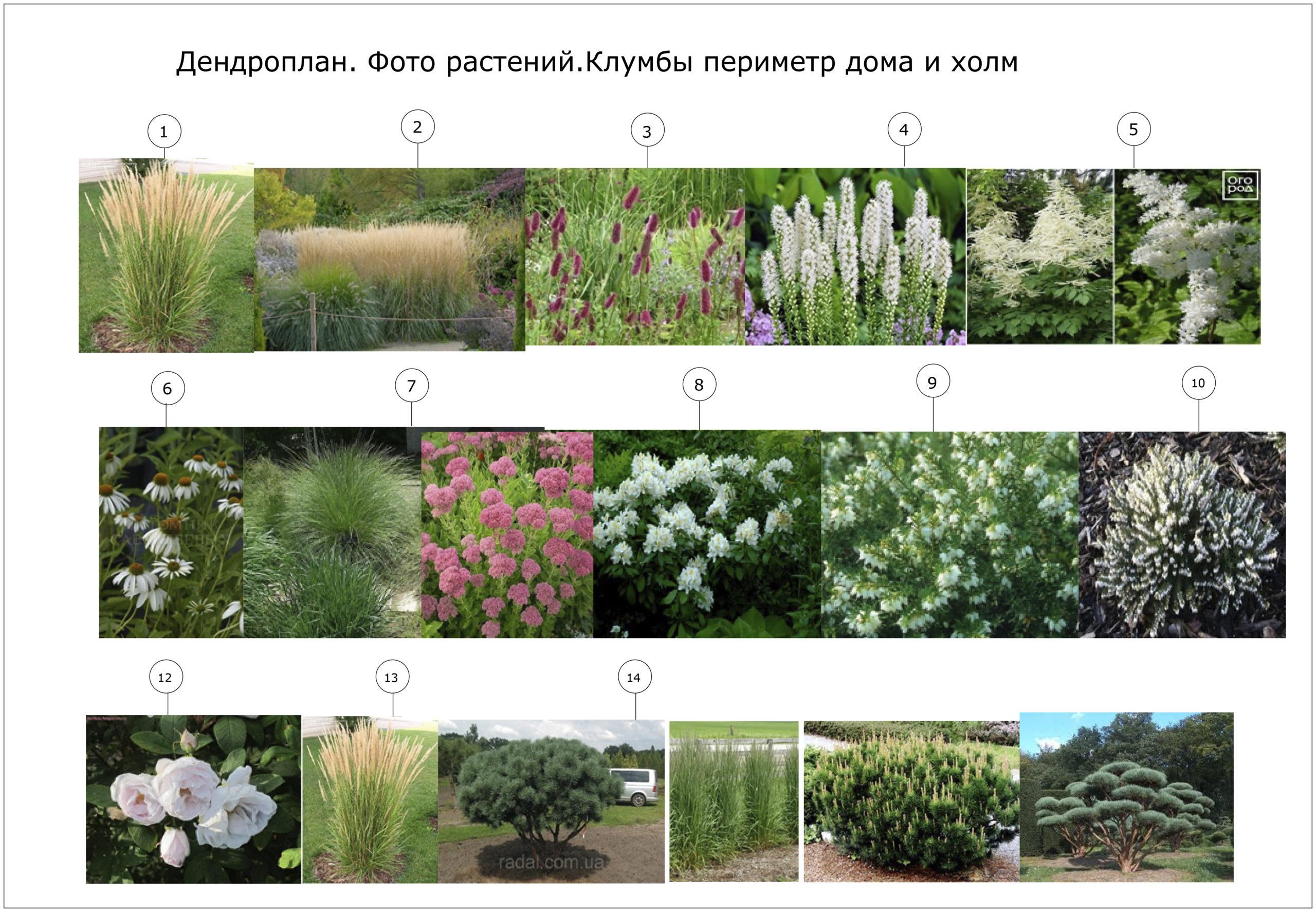 растения клумбы